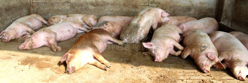 Feta svin i vageln av lantgården arkivbild