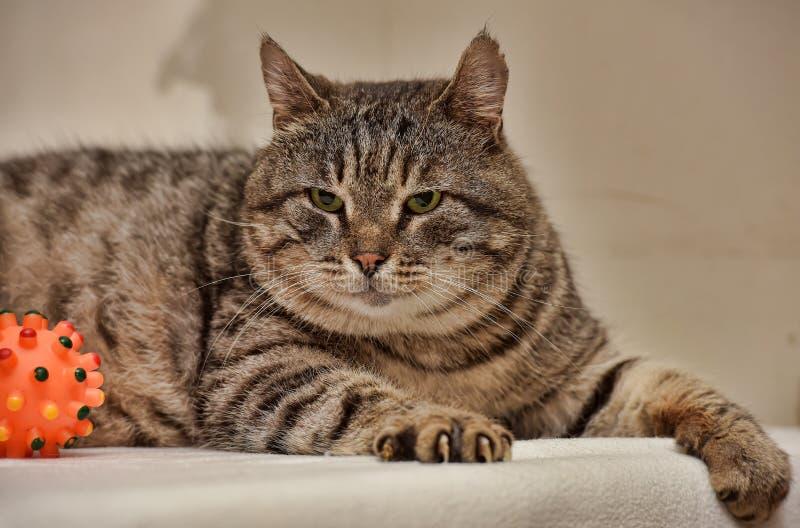 Feta Tabby Cat arkivfoto