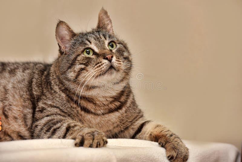 Feta Tabby Cat arkivbild