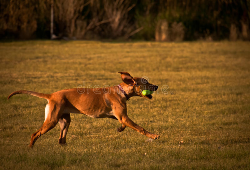 Fetch стоковое изображение rf