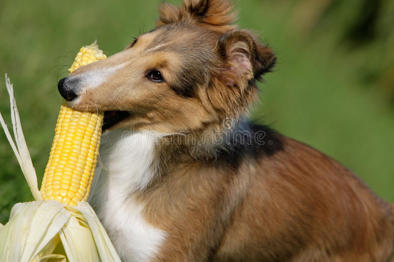 Download Fetching corn stock image. Image of curly, fauna, cute - 12847961