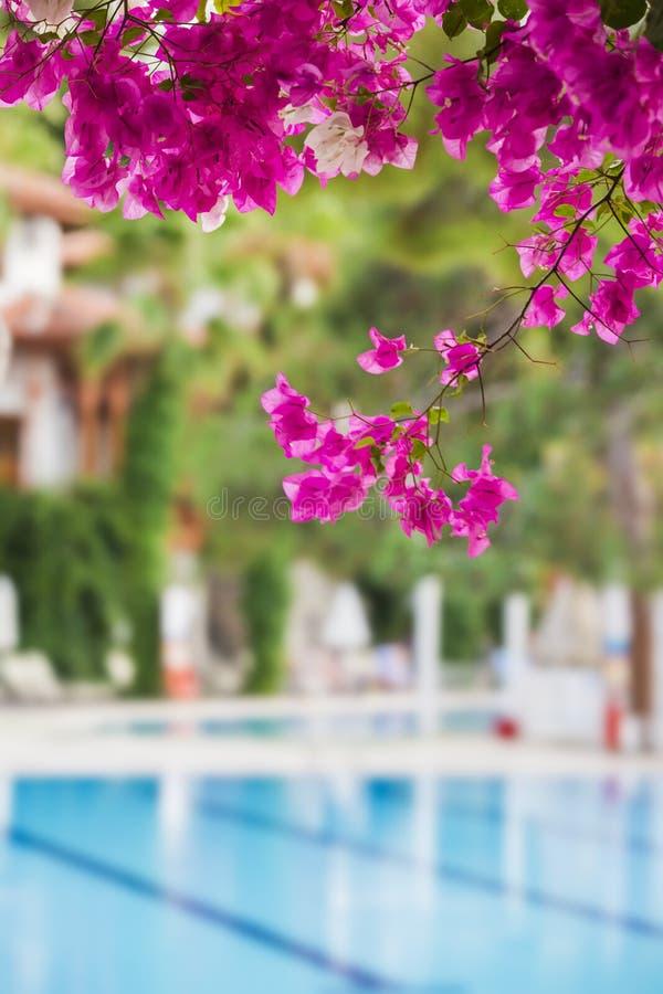 Fethiye Turkiet, September 2017 Bekvämt höghushotell Magentafärgade bougainvilleablommor på blå simbassängbakgrund royaltyfri fotografi