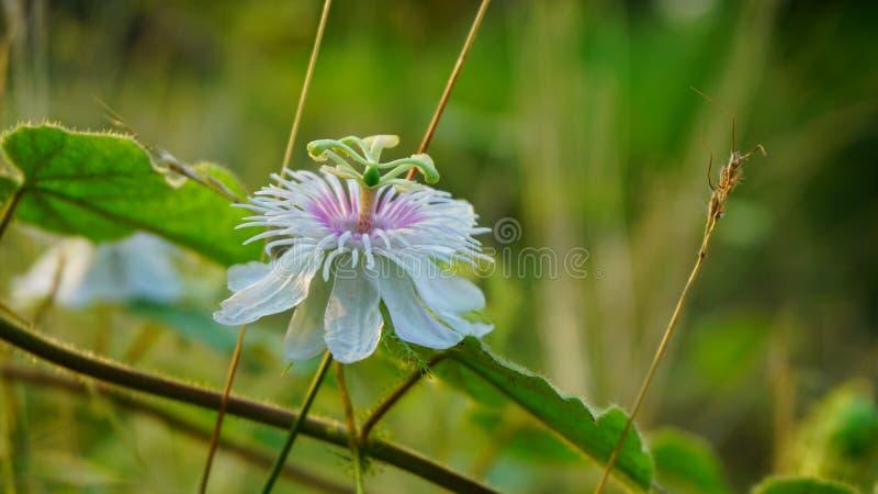 Fetid passionflower, Scarletfrul passionflower, Fetid passion flower, fotos de stock