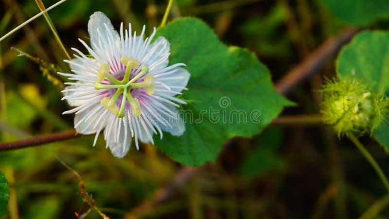 Fetid passionflower, Scarletfrul passionflower, Fetid passion flower, imagens de stock royalty free