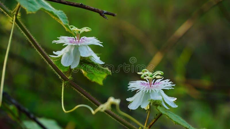 Fetid passionflower, Scarletfrul passionflower, Fetid passion flower, fotografia de stock