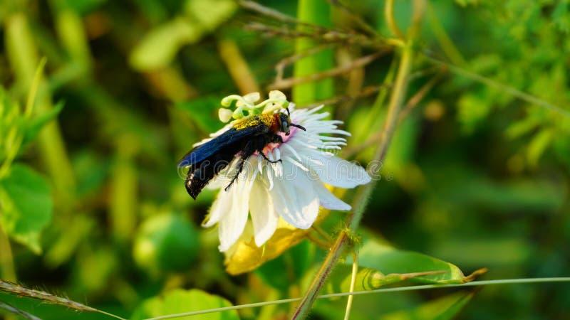 Fetid passionflower, Scarletfrul passionflower, Stinchin passion flower e Carpenter Bebês ou Abelhas de madeira imagens de stock royalty free