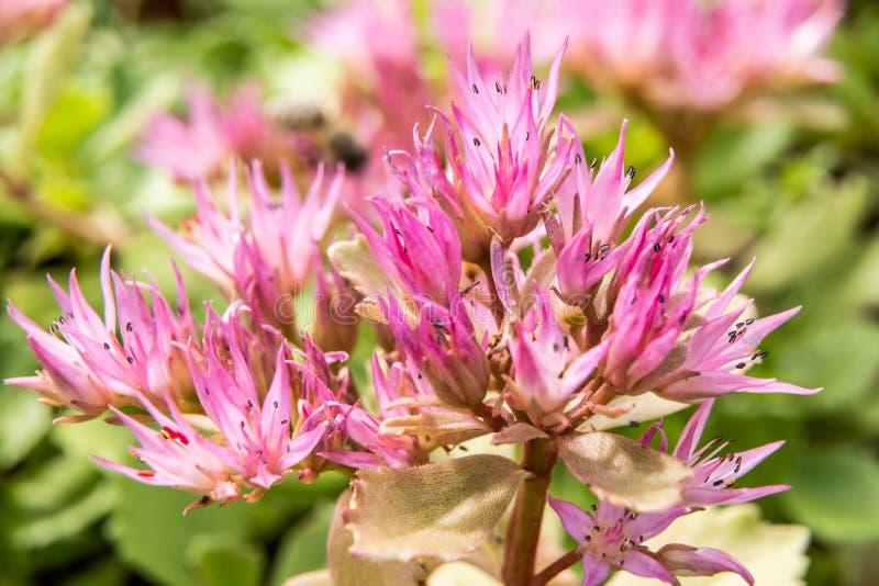 FetknoppSedum för blommor suckulent närbild av små rosa Sedum stenhuggareblommor, i familjen av crassula- och suckulentväxter royaltyfria foton