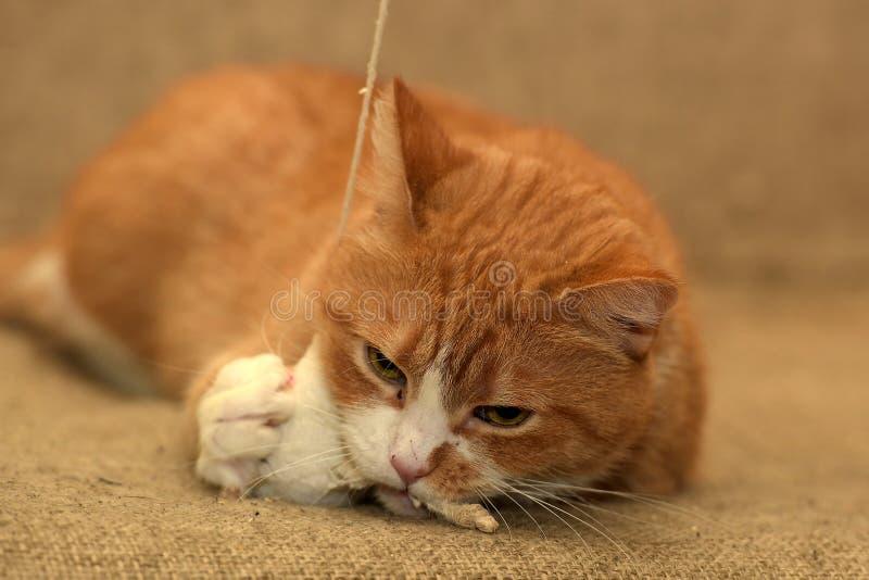 Fett spela för katt royaltyfria foton