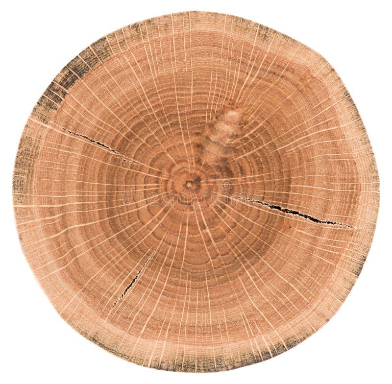 Fetta della quercia Lastra di legno con gli anelli annuali e le crepe isolati fotografia stock libera da diritti