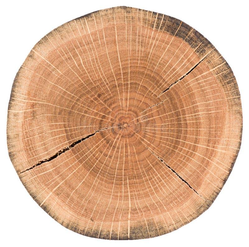Fetta della quercia Lastra di legno rotonda con gli anelli annuali e l'iso delle crepe immagini stock