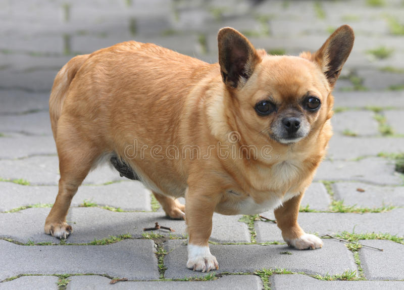 Fette Chihuahua lizenzfreie stockfotografie