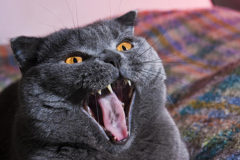 Fette Katze lizenzfreie stockfotos