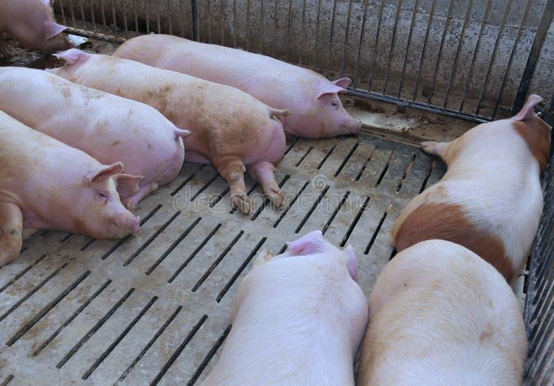 Fette Schweine