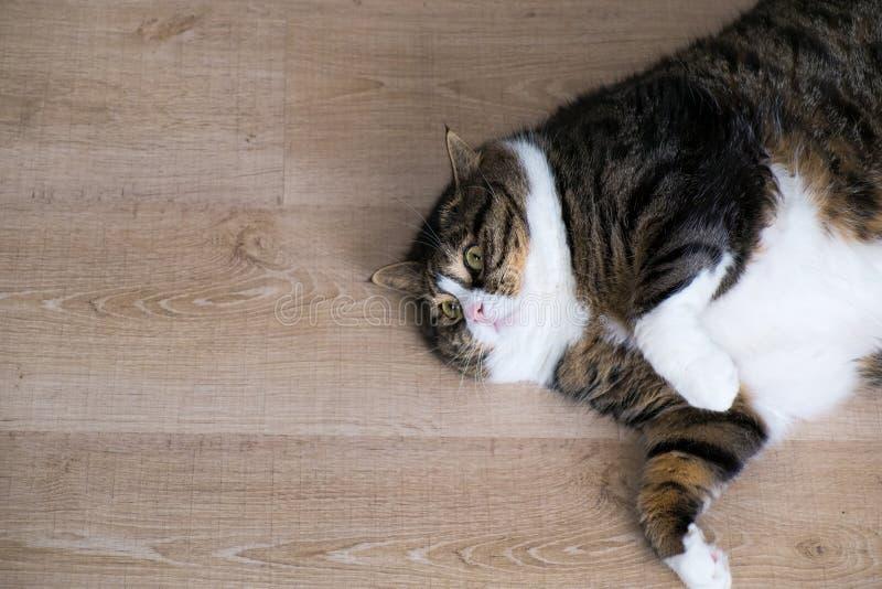 Fette Tabby Cat 8 lizenzfreie stockfotografie