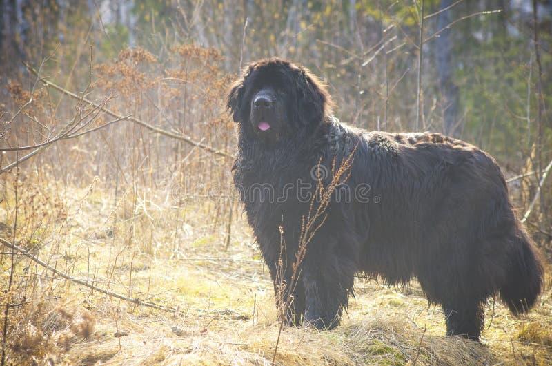 Fetter großer Hund, der auf einem Gebiet aufwirft lizenzfreies stockfoto