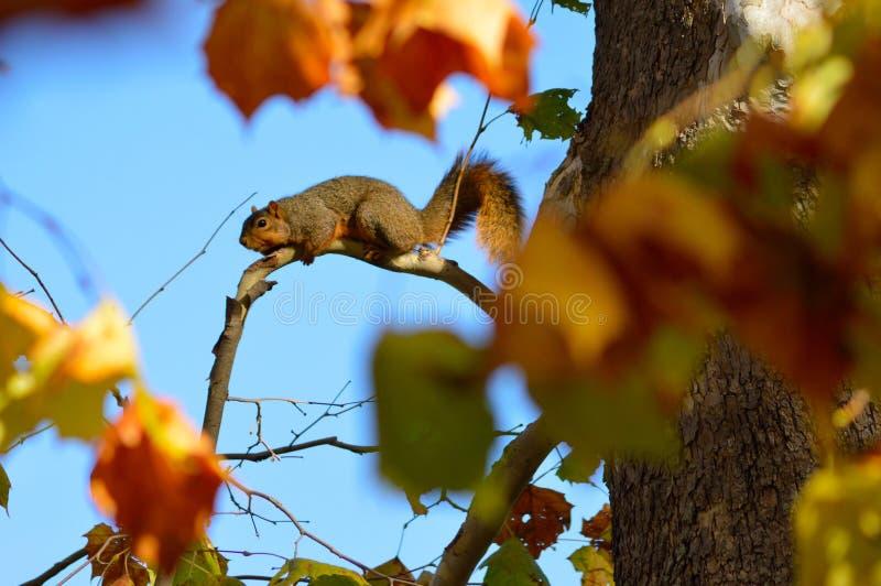 Fettes Fox-Eichhörnchen stockfotos