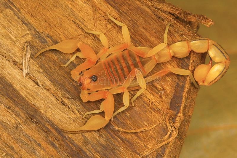Fettschwanzskorpion Hottentotta SP von Kanyakumari Tamil Nadu lizenzfreies stockbild