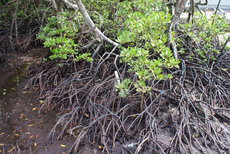 Feuchtgebiets-Mangroven stockfotos