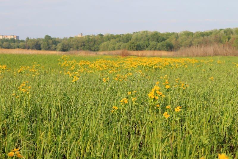Feuchtwiese mit Sumpfringelblumen stockbilder
