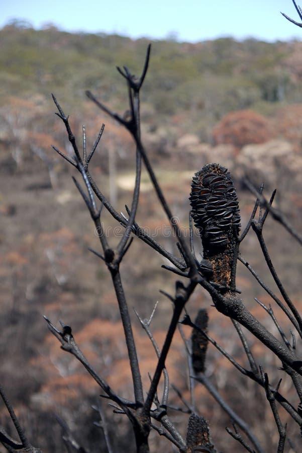 Feuer Australiens Busch: gebrannte Banksia seedpods nah stockbild
