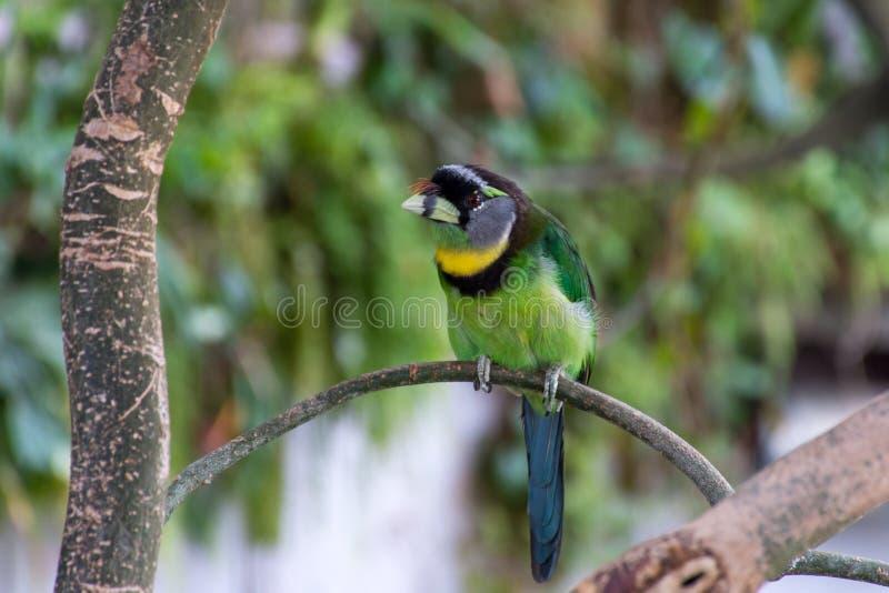 Feuer b?scheliges Barbet Psilopogon-pyrolophus ein gr?ner tropischer Vogeleingeborener zu Sumatra und die malaysische Halbinsel,  stockbild