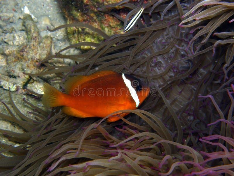 Feuer-Tomate-Clown-Fische in der purpurroten Anemone lizenzfreie stockfotografie