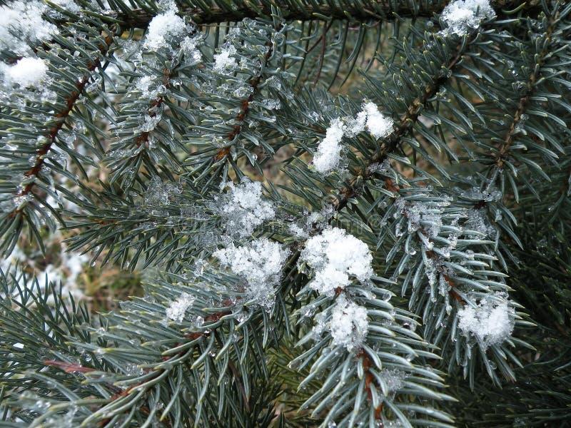 Feuerzweig mit Schnee stockfotografie