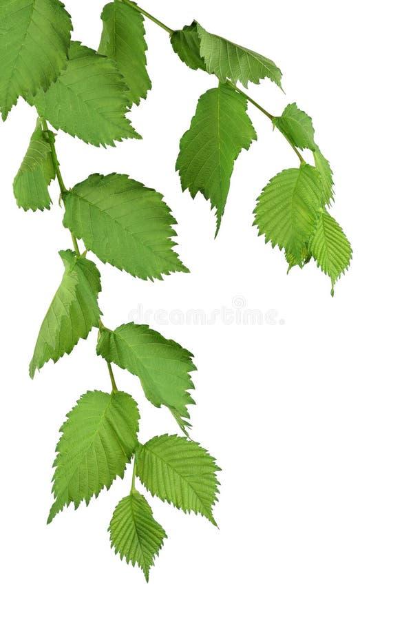 feuillage Arbre d'orme avec les feuilles vertes Isolatedl photo stock