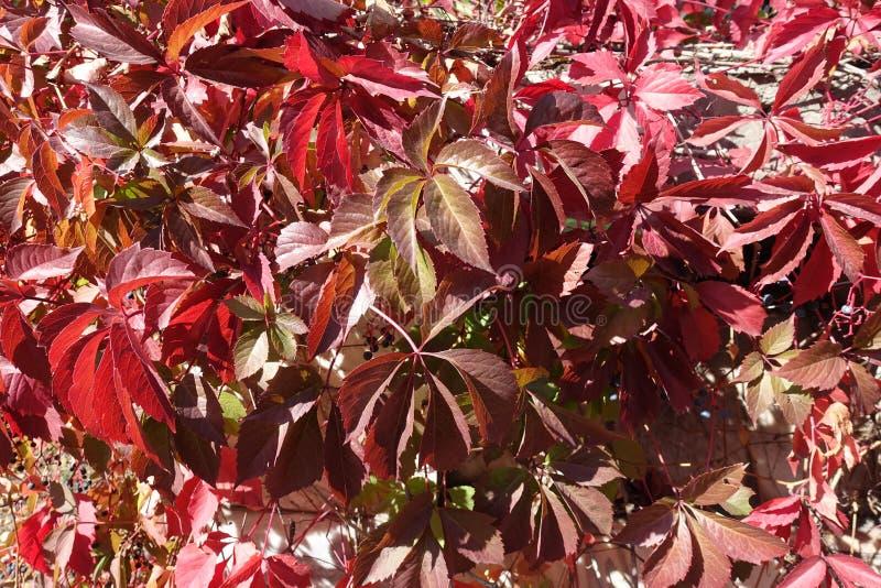 Feuillage automnal de quinquefolia de Parthenocissus aux nuances du rouge image stock