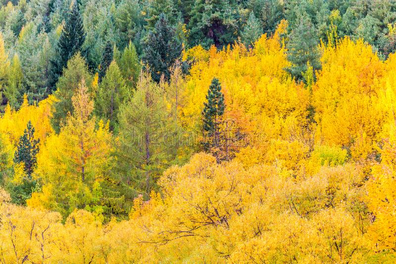 Feuillage coloré d'automne et pins verts dans Arrowtown image stock