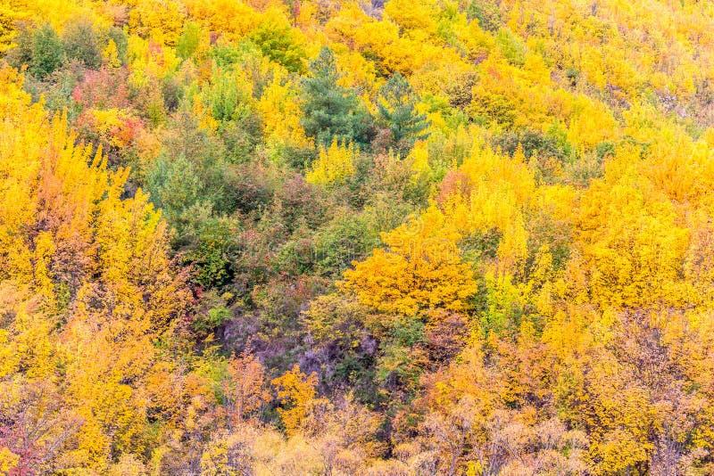Feuillage coloré d'automne et pins verts dans Arrowtown photographie stock