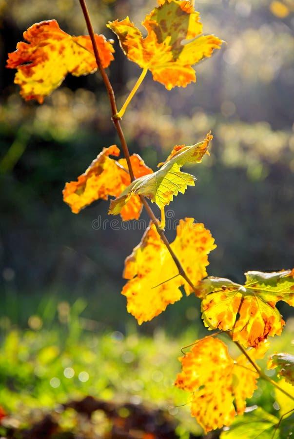 Feuillage coloré par chute des feuilles de vigne photographie stock libre de droits