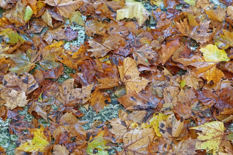 Feuillage d'automne humide photo stock