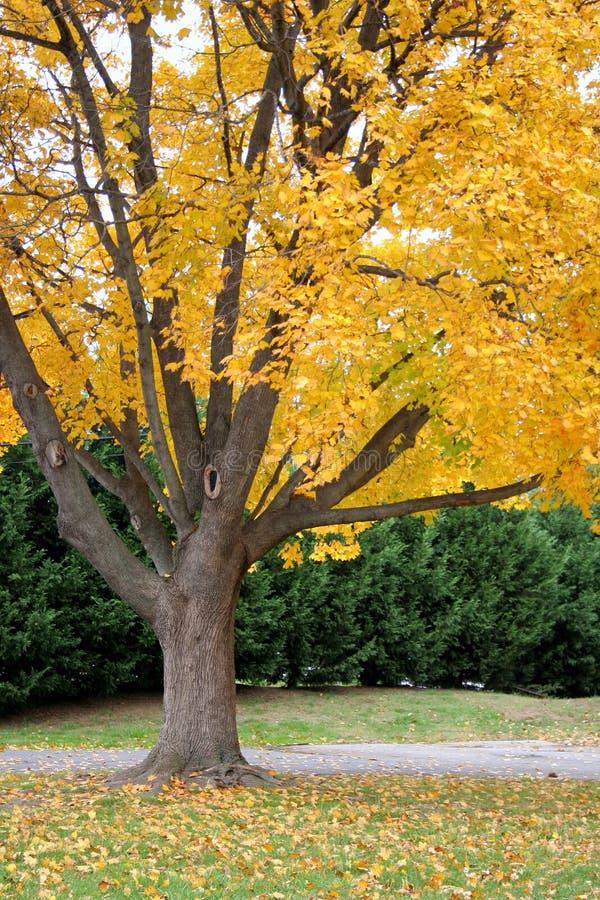 Feuillage d'automne jaune lumineux photo libre de droits