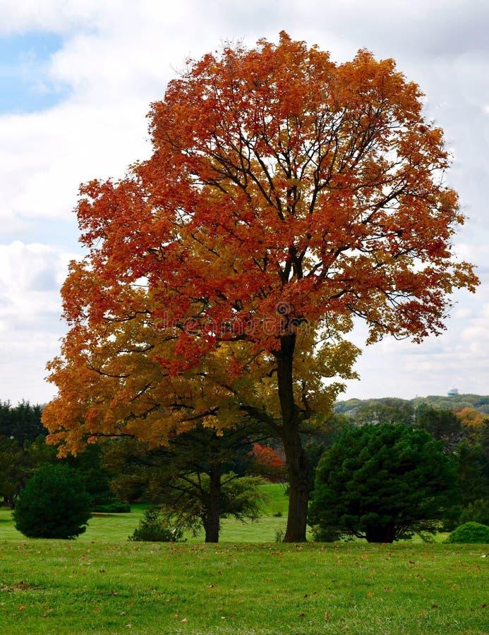 Feuillage d'automne d'un chêne photographie stock