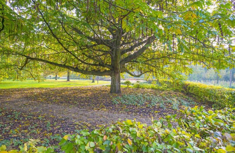 Feuillage d'un arbre en parc dans des couleurs d'automne au soleil à la chute image libre de droits