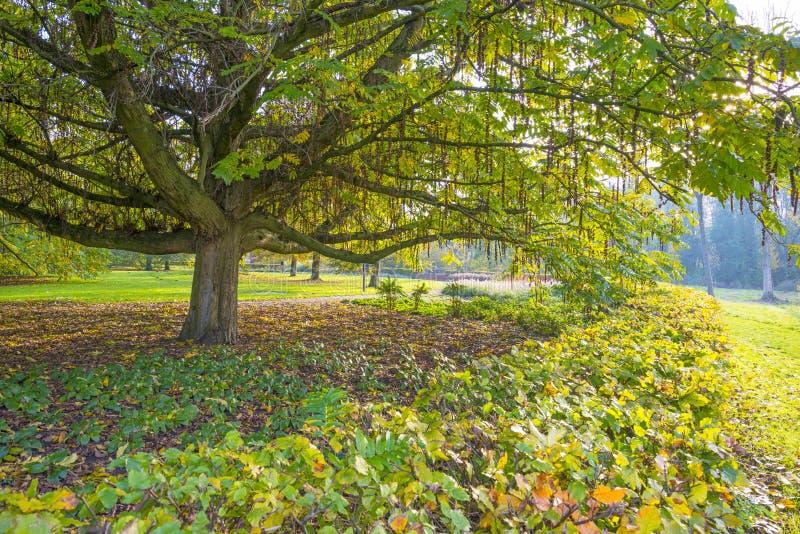 Feuillage d'un arbre en parc dans des couleurs d'automne au soleil à la chute photographie stock libre de droits