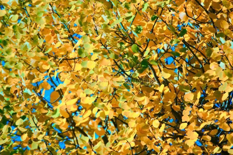 Feuillage jaune d'automne Feuilles d'Aspen comme des pièces d'or photographie stock