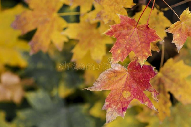 Feuillage jaune frais d'arbre de chute sur le fond de bokeh avec des ?tincelles et des poutres du soleil photos stock