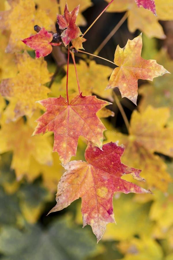 Feuillage jaune frais d'arbre de chute sur le fond de bokeh avec des ?tincelles et des poutres du soleil image libre de droits
