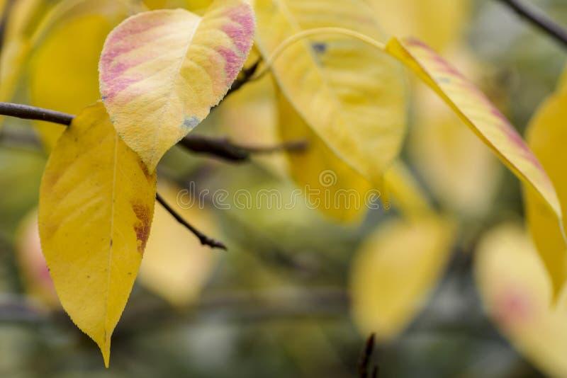 Feuillage jaune frais d'arbre de chute sur le fond de bokeh avec des ?tincelles et des poutres du soleil images libres de droits
