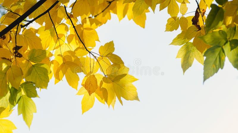 Feuillage jaune frais d'arbre de chute sur le fond de bokeh avec des ?tincelles et des poutres du soleil photos libres de droits