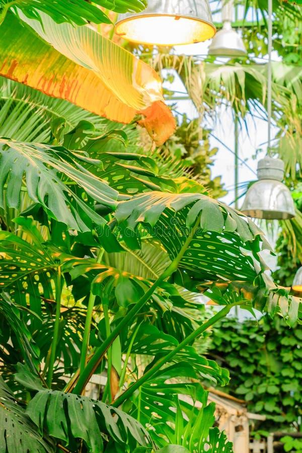 Feuillage luxuriant dans le jardin tropical Usines de jungle de banane et de monstera Fond naturel photos stock