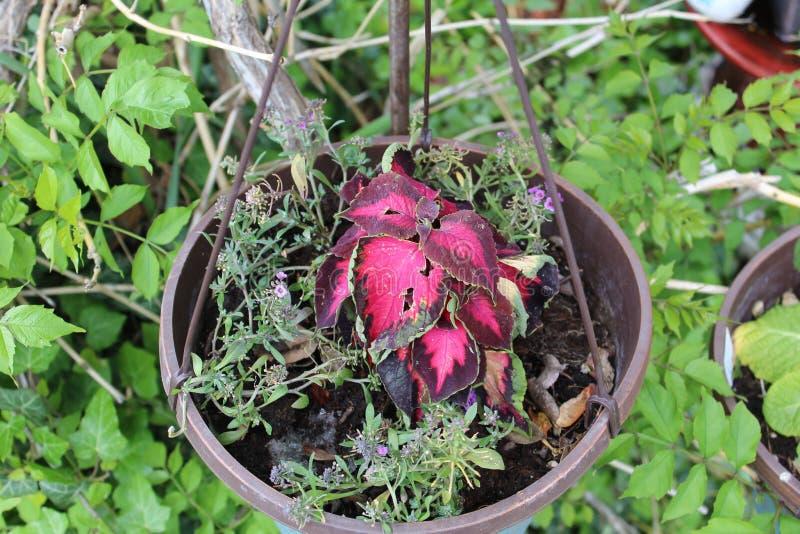 Feuillage rouge mis en pot de fleur image libre de droits