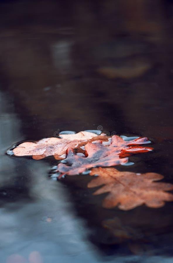 Feuillage rouge sur l'eau congelée photos stock