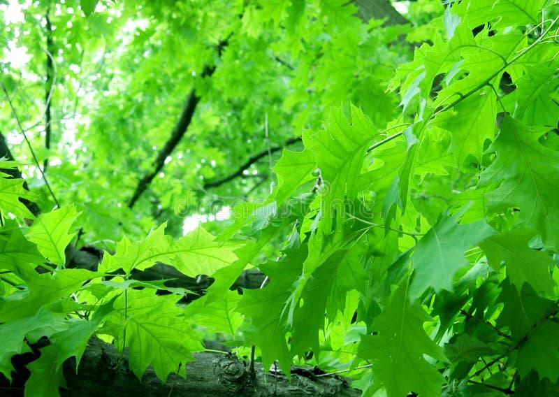 Feuillage vert image stock