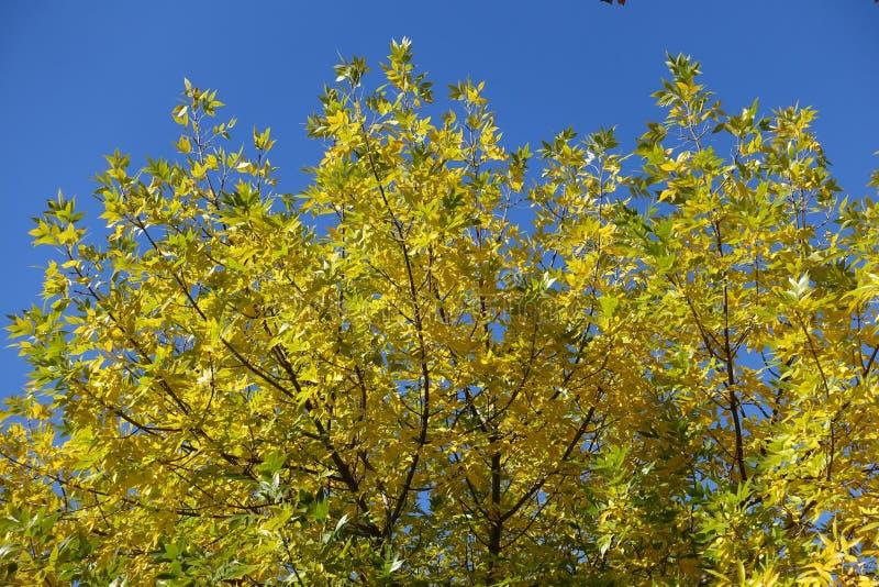 Feuillage vert citron et jaune de cendres contre ciel bleu en octobre image libre de droits
