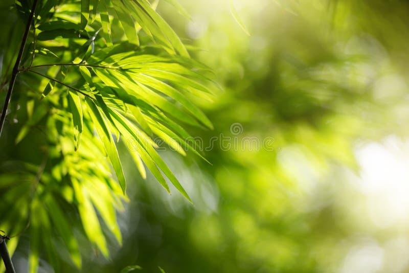 Feuillage vert de fond de nature des feuilles en bambou avec Bokeh et lumière du soleil images libres de droits