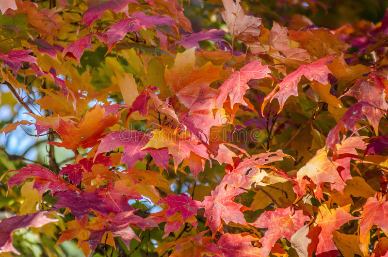 Feuille, arbre d'érable rouge photos stock