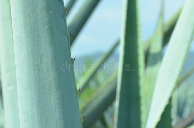 Feuille bleue d'agave images libres de droits